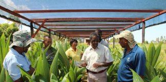 kokoskwekerijen suriname, landbouw, kwekerij, cardi, caribbean