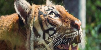 tijger, tanden